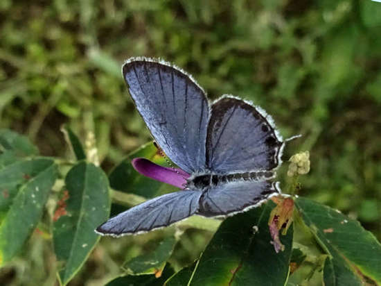 17_08_24_short_tailed_blue.jpg