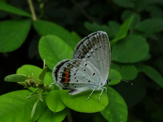 17_08_24_short_tailed_blue_b.jpg